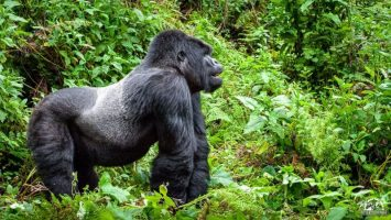 Silverback Gorilla Trekking In Bwindi Forest Is The Greatest African Wildlife Adventure